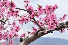 【自驾】林芝桃花季,总有一份遇见,唯美了整个春天